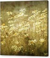 Dreamy Daises Canvas Print