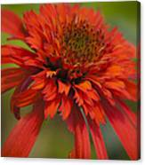 Dreamy Hot Papaya Coneflower Bloom Canvas Print
