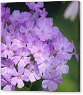 Dreamy Lavender Phlox Canvas Print