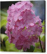 Dreamy Pink Mophead Hydrangea Squared Canvas Print