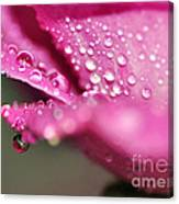 Droplet On Rose Petal Canvas Print