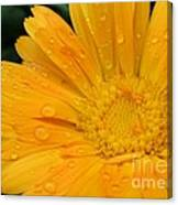 Drops On Marigold Canvas Print