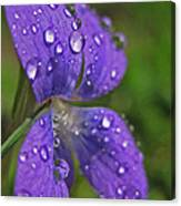 Drops On The Purple Flower Canvas Print