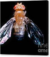 Drosophila With Dichaete Wings Canvas Print