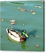 Duck 1 Canvas Print