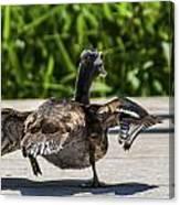 Duck And Run Canvas Print