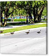 Duck Crossing Canvas Print