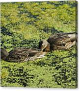 Duck Dinner Canvas Print