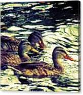 Duck Duck Duck  Canvas Print