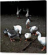 Duck Duck Goose Canvas Print
