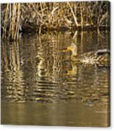 Duck Ripples Canvas Print