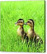 Duckling Chatter Canvas Print