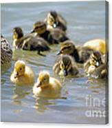 Ducklings 09 Canvas Print