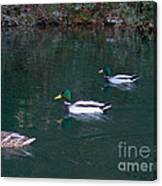 Ducks In A Line  Canvas Print