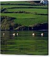 Ducks In Dingle Harbour Canvas Print