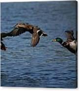 Ducks In Flight 2 Canvas Print