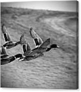 Ducks In Flight V2 Bw Canvas Print