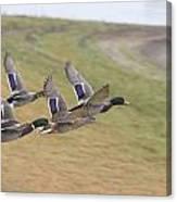 Ducks In Flight V3 Canvas Print