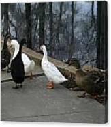 Ducks On A Walk Canvas Print