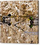 Ducks Reflect On The Days Events Canvas Print