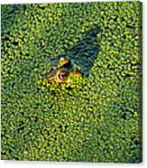 Duckweed Soup Canvas Print