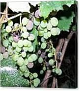 Dusty Grapes Canvas Print