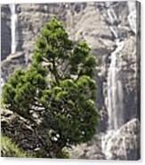 Dwarf Mountain Pine (pinus Uncinata) Canvas Print
