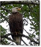 Eagle At Hog Bay Maine Canvas Print