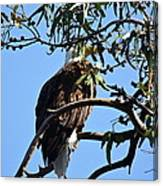 Eagle Under Cover Canvas Print
