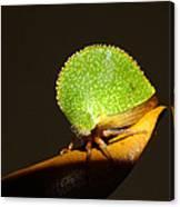 Eared Treehopper Canvas Print
