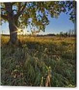 Early Evening Under An Old Poplar Tree Canvas Print