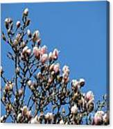 Early Flowering Magnolia Canvas Print