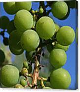 Early Grapes Canvas Print