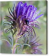 Early Knapweed Canvas Print