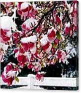 Early Magnolia Late Snow Canvas Print