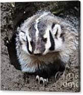 Early Morning Badger Canvas Print
