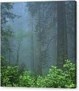 Early Morning In The Forest, Humboldt Canvas Print