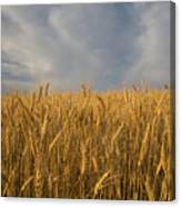 Early Morning Landscape Of Wheat In Palouse Canvas Print
