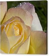 Early Morning Peace Rose Canvas Print