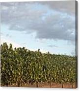 Early Morning Vineyard Canvas Print