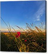 Early Poppies Canvas Print