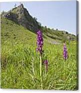 Early Purple Orchids Canvas Print