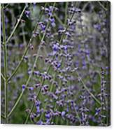 Early Russian Sage Canvas Print