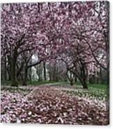 Early Spring Magnolias Canvas Print