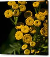 Early Tansy Canvas Print