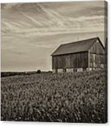 Ears In The Field Canvas Print
