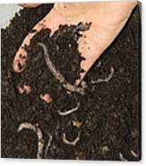 Earthworms In Soil Canvas Print