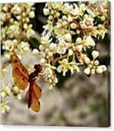 Eastern Amberwing On Wild Buckwheat Canvas Print