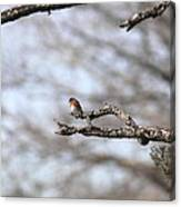 Eastern Bluebird - Old And Alive Canvas Print