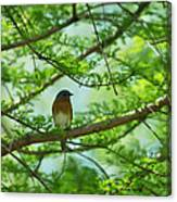 Eastern Bluebird In Bald Cypress Tree Canvas Print